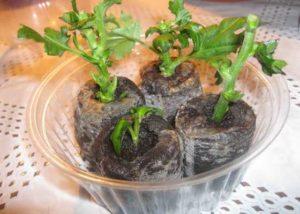черенки хризантемы