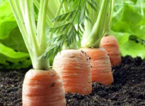 сажаем морковь под зиму