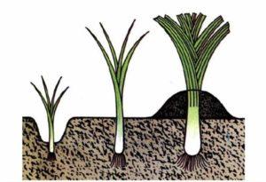 высадка лука порея в грунт