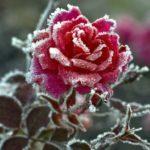 как и когда укрывать розы на зиму