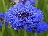 Blue Diadem Василек