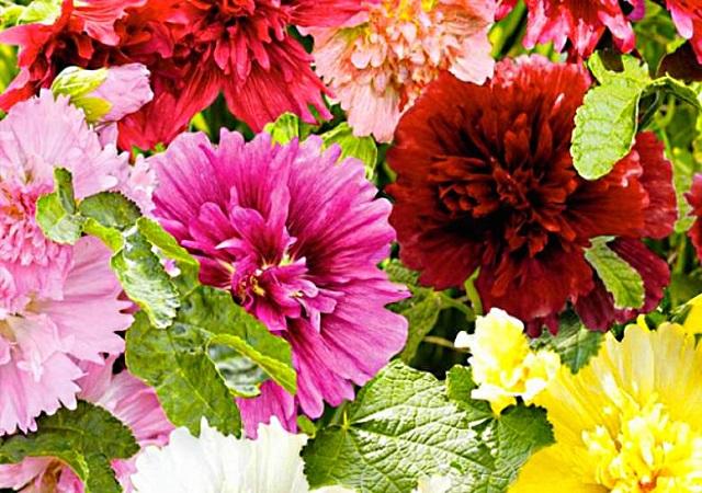 Шток-роза Королевская, цветы разной окраски