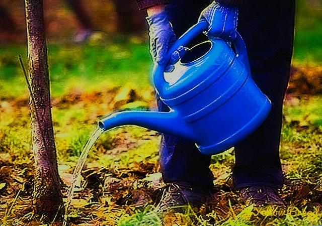 Как поливать деревья осенью