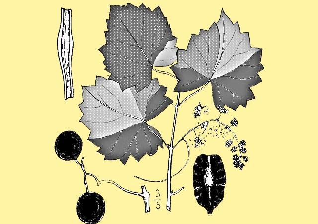ботаническое строение гейхеры