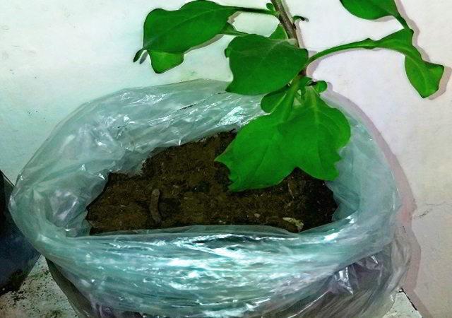 Рассада растения в полиэтиленовом пакете