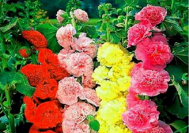 Шток-роза Летний карнавал. Махровая