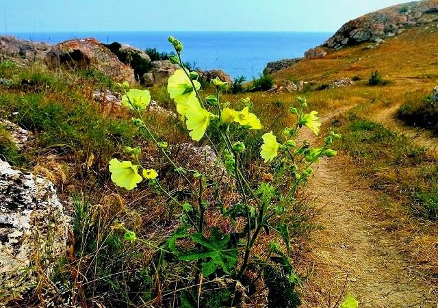 Шток-роза Крымская, желтая