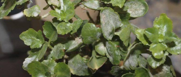 налет на листьях каланхоэ